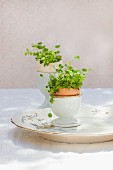 Alfalfa sprouts growing in two halved eggshells in eggcups on vintage plate