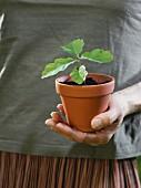 Hand hält Jungpflanze im Topf