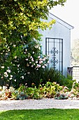 Dog rose and trellis on gable wall in summery garden with gravel path
