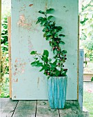 Red crab apple tree in planter against shabby chic wooden wall on terrace