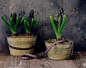 Blue hyacinths in metal pots