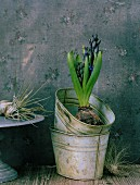 Hyacinth in metal pot