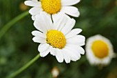 Ox-eye daisies in garden