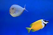 Two marine fish in aquarium