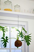 Plant with root ball hanging from shelf in front of window