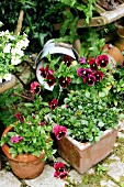 Potted flowering violas