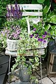 White basket planted with woodland sage, lobelia, ground ivy and Calibrachoa on shabby chic garden chair