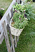 White basket planted with French lavender hanging on garden fence