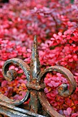 Wrought iron ornament on metal fence in front of shrub with red autumn foliage