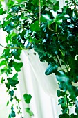 Efeu Kletterpflanze vor dem Fenster