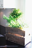 Sunlight falling on herb plant in vintage wooden crate