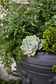 Succulents and various foliage plants in pot