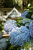 Prachtvolle pastellblaue Hortensienblüten mit Wohnhaus im Hintergrund