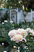 White-flowering rose in garden