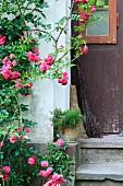 Pinkfarbener Rosenstrauch an Hauswand, neben verwitterter Holztür und alte Reisigbesen