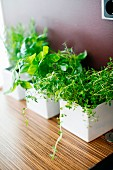 Various herbs in white, square pots on kitchen shelf