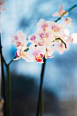 Delicate orchid sprig with white flowers