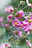 Japanese anemones in garden