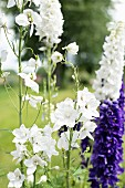 Splendid white and purple flowers in summery garden
