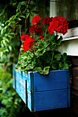 Red geraniums in blue, wooden window box