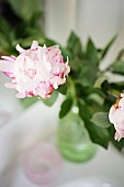 White peony flowers with magenta stripes