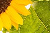 Blühende Sonnenblume, Segment der Blüte und eines Blattes