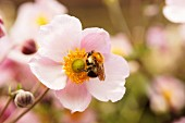 Bumblebee on pink anemones