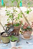 Vintage Utensilien und Pflanzen (Zitronenverbene, Echeverie, Basilikum-Aussaat) in Tontöpfen