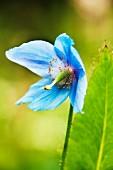 Himalayan blue poppy (Meconopsis)