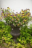 Gelb-violett blühende Stiefmütterchen in antik griechischem Pflanzentopf