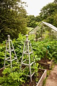 Wooden obelisks in raised beds in garden in front of greenhouse