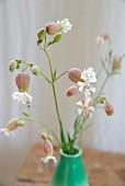 Bladder campion (Silene vulgaris) in small, green vintage vase