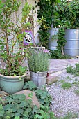 Mediterranean plants: potted bay and lavender in front of paved terrace adjoining country house