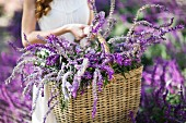 Cropped shot of young woman in garden carrying basket of purple flowers
