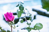 Ice crystals on magenta rose in front of snowy box hedges in blurred background