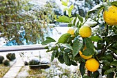 Fruit on lemon tree in front of stainless steel balustrade; view of pool in snowy garden in background