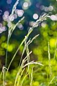 Blades of grass in garden (close-up)