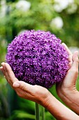 Hands cupping large purple allium flower