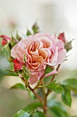 Rosafarbene Beetrose der Sorte Marie Curie