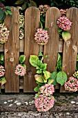 Hydrangea behind garden fence