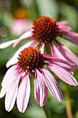 Flowering Echinacea purpurea