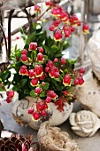 Kalanchoe with red flowers in stone pot
