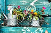 Plant in zinc watering cans on DIY potting table