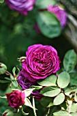 Purple-flowering remontant rose
