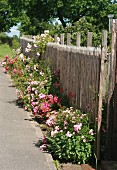 Roses growing along garden fence