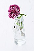 Sweet William in glass bottle
