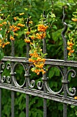 Berries on Pyracantha growing over wrought iron garden fence