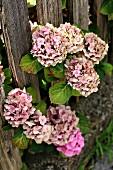 Pink hydrangeas growing through garden fence