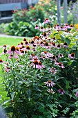 Flower bed of purple coneflower (Echinacea)