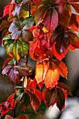 Virginia creeper in autumn colours